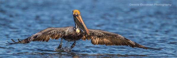 Mound Key Pelicans